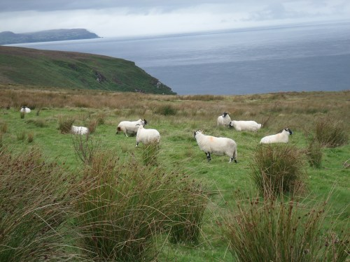 Sheep & Glengad Head in distance