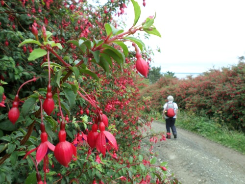Hedgerows of Fuschia